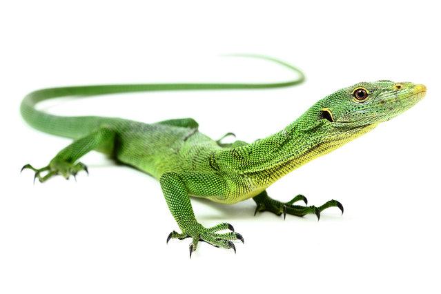 Emerald Tree Monitor (Varanus Prasinus). (Photo by Mickael Leger/Caters News)