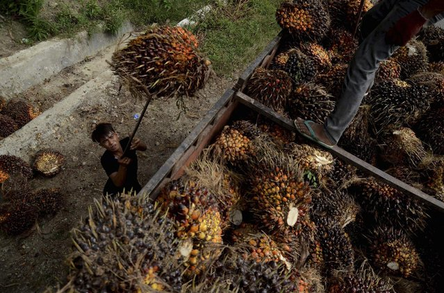 A worker loads palm fruit at a palm oil plantation in North Mamuju regency, West Sulawesi province, Indonesia March 10, 2016 in this photo taken by Antara Foto. (Photo by Sahrul Manda Tikupadang/Reuters/Antara Foto)