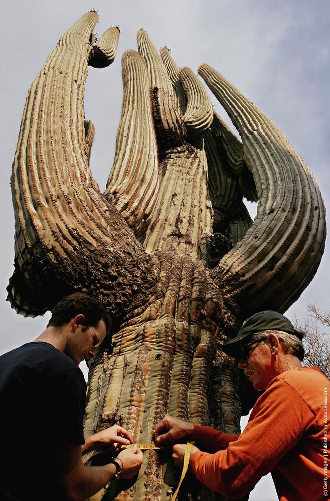 World's Biggest Saguaro Cactus