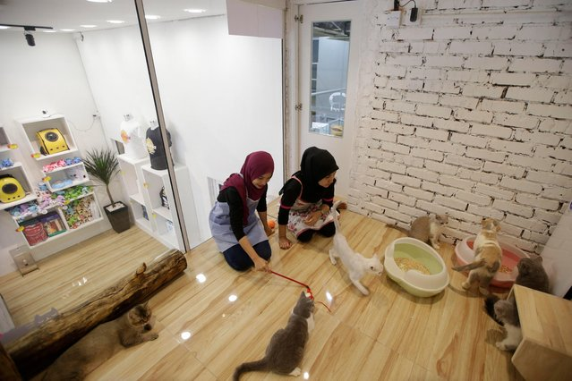 A picture made available on 08 February 2017 shows staff playing with cats inside the Super Very Very Important Cat (VVIC) room at the CATZONIA cat hotel in Damansara, outside Kuala Lumpur, Malaysia, 07 February 2017. (Photo by Fazry Ismail/EPA)