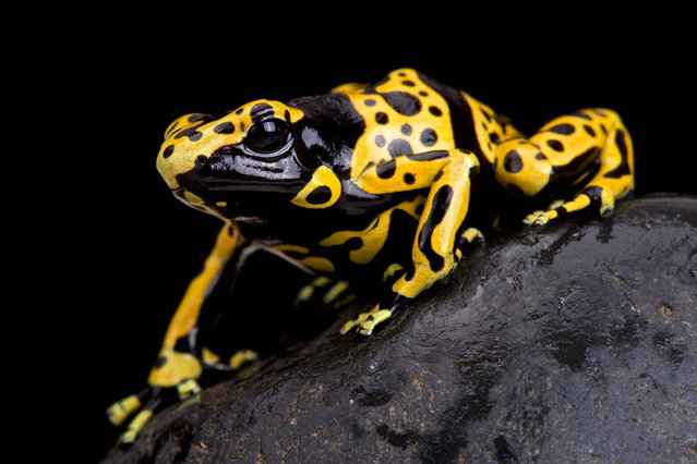 Yellow-banded poison dart frog (Dendrobates leucomelas). (Photo by Matthijs Kuijpers/The Guardian)