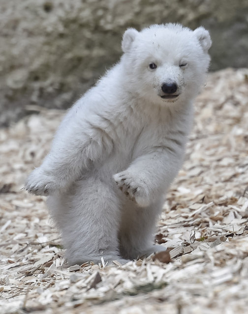 The 14-week-old polar bear is pictured at the zoo Hellabrunn in the southern German city of Munich, on February 24, 2017. (Photo by Guenter Schiffmann/AFP Photo)