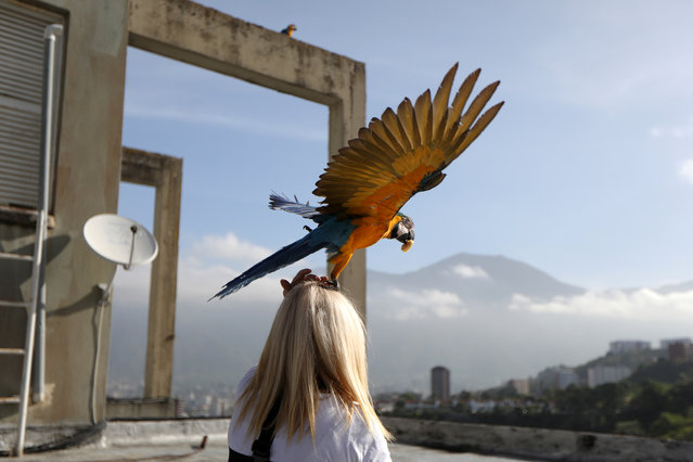 A macaw takes off from Carmen Borges' head at a rooftop of a building in Caracas, Venezuela, June 12, 2019. (Photo by Manaure Quintero/Reuters)