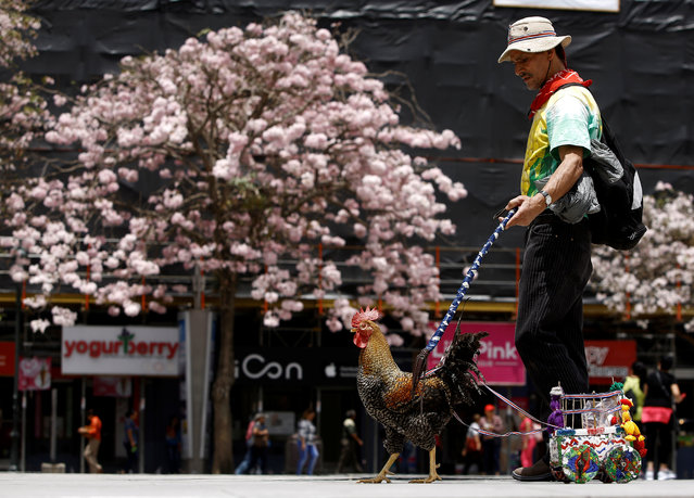 "Martin Herrera, 58, who has had a love for roosters since his childhood, and has spent the last 20 years domesticating and training them, walks with his favorite rooster ""Paquito"" in San Jose, Costa Rica April 27, 2017. (Photo by Juan Carlos Ulate/Reuters)"