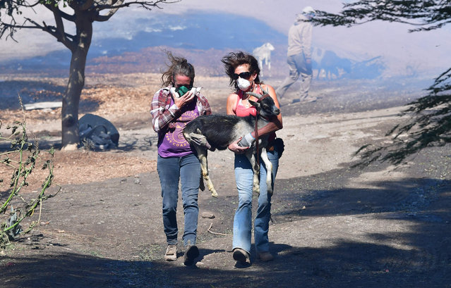 """Robyn Phipps (L) and Laura Horvitz help rescue a goat from a ranch near the Ronald Reagan Presidential Library in Simi Valley during the Easy Fire in Simi Valley, California on October 30, 2019. Firefighters in California battled a new fast-moving blaze on October 30 that threatened the Ronald Reagan Presidential Library, as rare """"extreme"""" red flag warnings were issued for much of the Los Angeles region. The so-called Easy Fire in the Simi Valley northwest of Los Angeles erupted around 6:00 am, forcing the evacuation of the library and nearby homes as it spread to more than 900 acres (365 hectares), officials said. (Photo by Frederic J. Brown/AFP Photo)"""