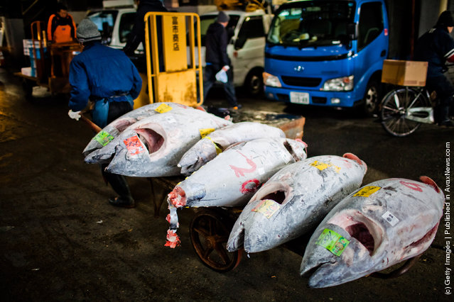 A man transports Tuna purchased at the Tuna auction to be cut into pieces and sold at the Tsukiji fish market