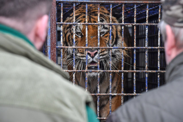 One of the nine tigers illegally transported from Italy found in a truck at the border crossing with Belarus in Koroszczyn, east Poland, 30 October 2019. One of the animals has died in transit while others remain in a state of extreme exhaustion. One of the animals is unfortunately dead. The tigers are enroute to Russia as the Russian perpetrator is being detained by the Polish police. The tigers will be looked after temporarily at the Poznan Zoo, from where they will be transfered to animal asylum in Spain. (Photo by Wojtek Jargiło/EPA/EFE)