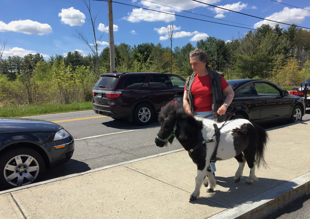 In this Friday, May 12, 2017, photo, Ann Edie, who has been blind since birth, walks with her miniature guide horse Panda on a street near her home in suburban Albany, N.Y. Retired teacher Edie and her husband drained more than $30,000 from their retirement nest egg to get Panda a life-saving operation after she suffered a serious intestinal blockage. Horse lovers who follow a blog about Panda's training have also kicked in more than $11,000 to help defray costs. (Photo by Mary Esch/AP Photo)