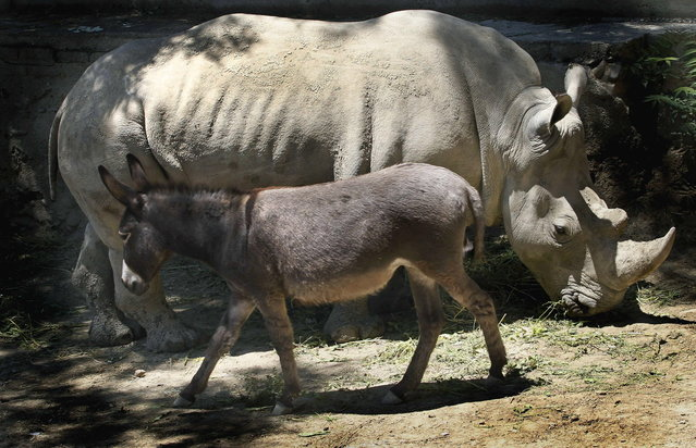 In this Saturday, June 14, 2014 photo rhinoceros Manuela and a donkey  in the same enclosure at the Tbilisi Zoo, Georgia. The zoo keepers tried to help Manuela the rhino who was feeling depressed by putting the donkey in the same cage. The strategy worked and the animals have been living peacefully together. (Photo by Shakh Aivazov/AP Photo)