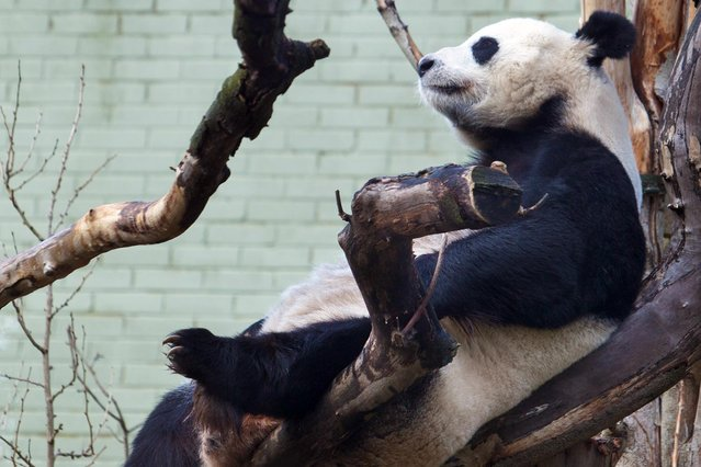 "The only female giant panda in the UK has conceived at Edinburgh Zoo in Scotland. Due to the notorious difficulty of breeding the endangered ""gentle giants"" Tian Tian, 10, was artificially inseminated using the sperm from Britain's only male panda – Yang Guang. While zoo staff celebrates the rare conception it is not yet known if Tian Tian will actually become pregnant because, with pandas, the embryo cannot be implanted immediately. (Photo by Edinburgh Zoo/Splash News)"