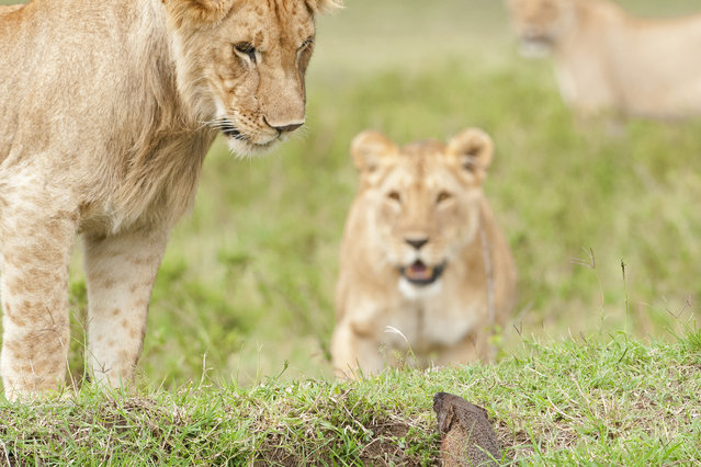 A mongoose emerges from its hole as lions wait nearby on September 10, 2011 in Maasai Mara, Kenya. Four lions were left with their tails between their legs when a mongoose bravely took on the predators. (Photo by Jerome Guillaumot/Barcroft Media)