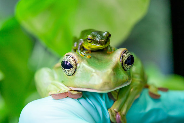 Winner, Heart and Minds category: Thao whipping frogs, by Eleanor Stobbart at Paignton Zoo, Wild Planet Trust. Species: Thao whipping frog. (Photo by Eleanor Stobbart/BIAZA 2020 Photography Competition)