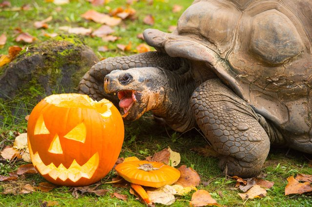 A Galapagos tortoise eats a carved pumpkin as a Halloween treat at ZSL London Zoo, in central London, on October 30, 2014. (Photo by Dominic Lipinski/PA Wire)