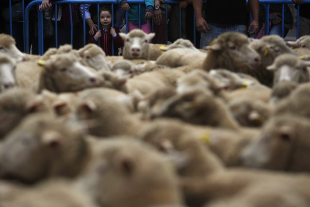 A child looks at sheep during the annual sheep parade through Madrid November 2, 2014. (Photo by Susana Vera/Reuters)