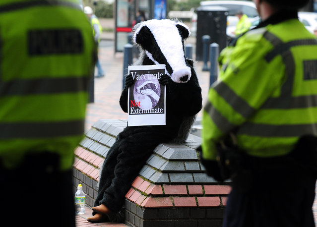 A protester campaigns against badger culling outside the National Farmer's Union annual Conference at the ICC, Birmingham, on February 27, 2013. (Photo by Rui Vieira/PA Wire)