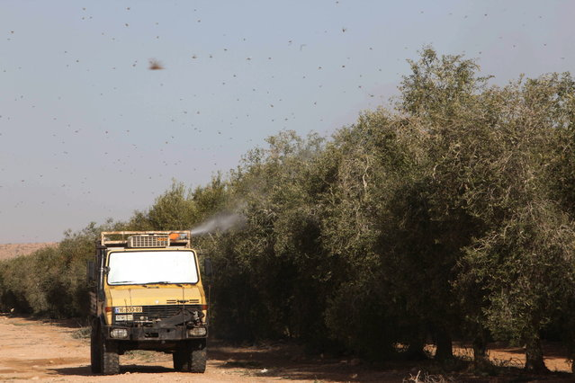 A menacing swarm of locusts that entered southern Israel earlier this week has been largely smitten, according to the Israeli government and local reports. But some of the insects' ilk may be back later this week. (Photo by Eliyahu Hershkovitz)