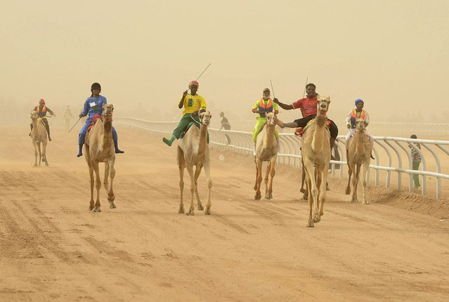 Jockeys race to the finish line during the 20km camel race at the opening of the Janadriya festival near Riyadh, Saudi Arabia, on April 3, 2013. (Photo by Faisal Al Nasser/Reuters)
