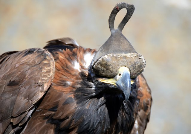 Eagles wear leather hoods unless they are hunting. (Photo by Brad Ruoho/The Star Tribune)