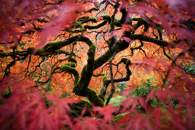 """Merit Winner: Looking into Another World"". This is the great Japanese maple tree in the Portland Japanese Gardens. I tried to bring a different perspective of this frequently photographed tree. Location: Portland, OR. (Photo and caption by Fred An/National Geographic Traveler Photo Contest)"