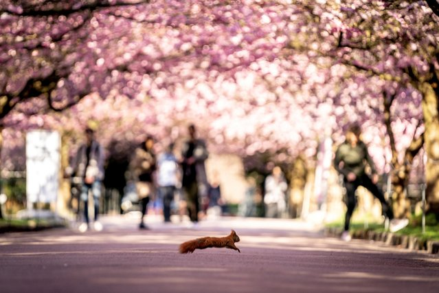 A squirrel crosses the Cherry Alley at Bispebjerg Cemetery in Copenhagen, Denmark on April 20, 2021. (Photo by Mads Claus Rasmussen/Ritzau Scanpix via Reuters)