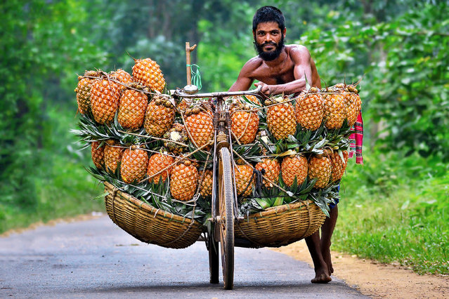 Cyclists desperately try to keep their heavily-laden bicycles upright as they arrive at a market with baskets full of pineapples on August 23, 2018. The men travel up to 12 and a half miles with two baskets tied to the sides of their bikes, carrying between 50 and 100 pineapples to sell. Each of the bicycles is so heavily laden with fruit it is impossible for the men to actually ride their bikes, instead having to walk alongside them. When they arrive at the market place in Madhupur, Bangladesh, buyers will pay up to 30 Taka for a pineapple – the equivalent of around 28 pence. (Photo by Abdul Momin/Solent News & Photo Agency UK)