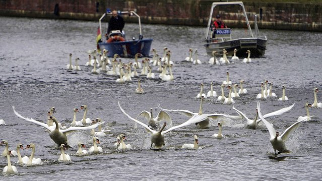 The Alster swans are accompanied by boats towards the Outer Alster in Hamburg, Germany on May 4, 2021. Every year, the animals are brought back from their winter quarters at the Eppendorf mill pond to the Alster and its side arms. (Photo by Marcus Brandt/dpa)