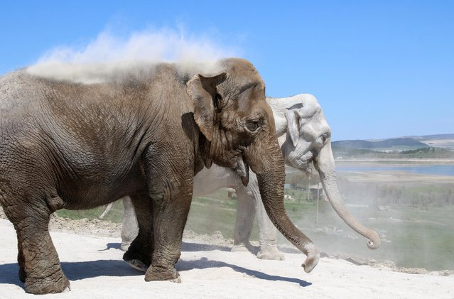 Elephants dust themselves with soil at Taigan safari park in Belogorsk, Crimea on May 4, 2021. (Photo by Alexey Pavlishak/Reuters)