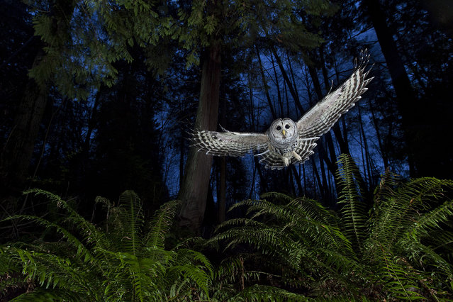 """Canada: """"The flight path"""". This female barred owl had a territory near his home in Burnaby, British Columbia. He watched her for some time, familiarising himself with her flight paths until he knew her well enough to set up the shot. """"I wanted to include the western red cedar and the sword ferns so typical of this Pacific coastal rainforest"""". Setting up his camera near one of the owl's favourite perches, linked to a remote and three off-camera flashes, diffused and on low settings, he put a dead mouse on a platform above the camera and waited for the swoop that he knew would come. (Photo by Connor Stefanison/Wildlife Photographer of the Year 2013)"""