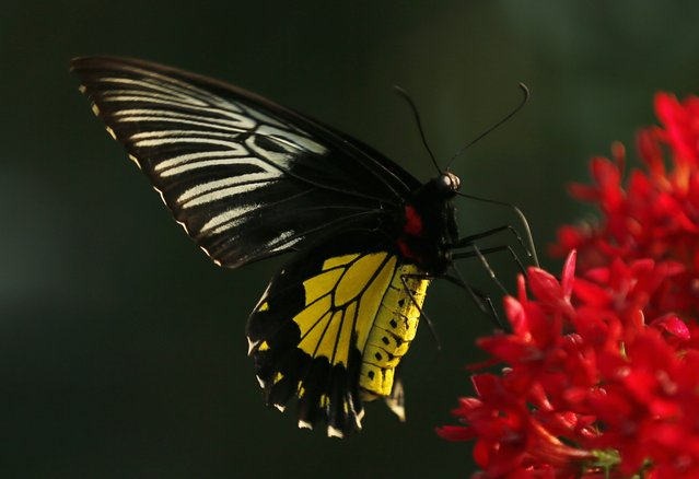 A Golden Bird Wing butterfly lands on a flower as it and hundreds of other butterflies from around the world fill the bird aviary for the next month at the San Diego Zoo Safari Park in San Diego, California March 13, 2015. (Photo by Mike Blake/Reuters)