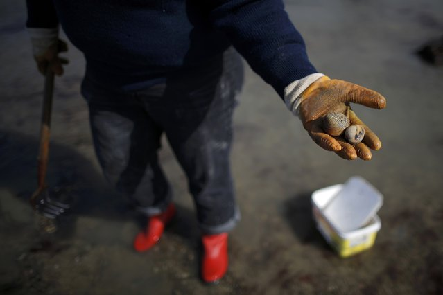 A woman displays shellfish found during a record low tide in Saint Malo, western France, March 21, 2015. (Photo by Stephane Mahe/Reuters)