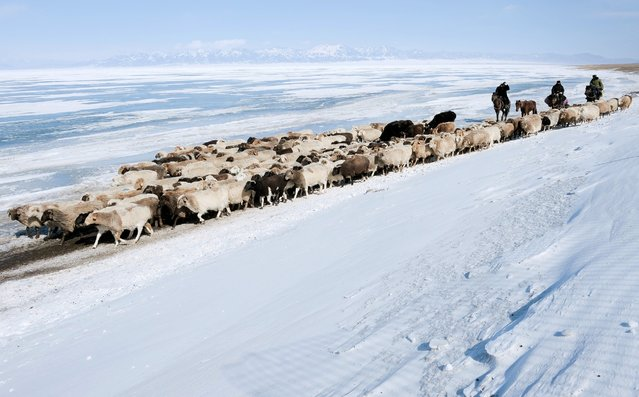 Herders drive their sheep and goats along a dirt road next to snow-covered fields in Yili, Xinjiang Uighur Autonomous Region, March 15, 2015. (Photo by Reuters/China Daily)