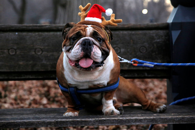 Tyson the Bulldog sits with reindeer antlers on Christmas Day at Central Park in Manhattan, New York City, U.S., December 25, 2016. (Photo by Andrew Kelly/Reuters)