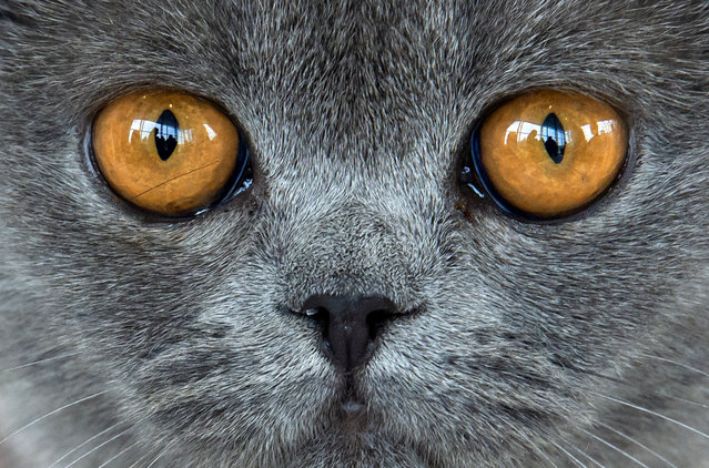"""British short hair cat """"Amber von der Feenlichtung"""" waits during an international dog and cat exhibition in Erfurt, Germany, June 16, 2018. More than 4,000 dogs and more than 100 cats and their owners from 21 countries take part at the exhibition and the competitions. (Photo by Jens Meyer/AP Photo)"""