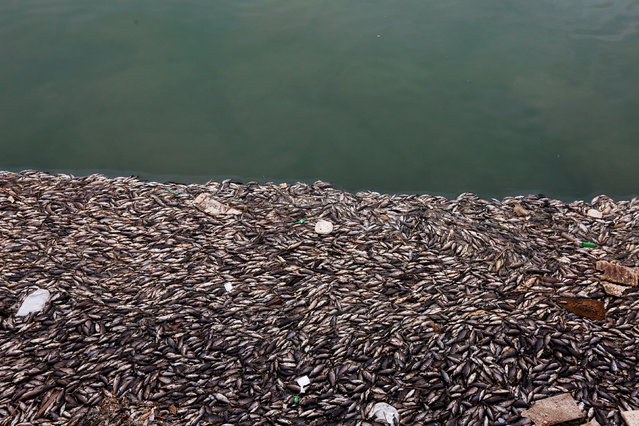 Floating dead fish are seen near fish farms at the Euphrates River in Mussayab district, Iraq, November 3, 2018. (Photo by Alaa al-Marjani/Reuters)