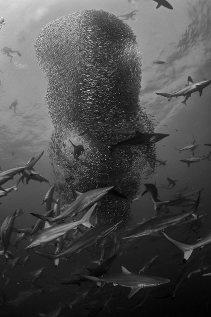 """""""Vortex"""". The Sardine Run is considered to be one of the most spectacular wildlife events. The search for dive-able bait ball action can be long and hard, with no guarantees of being in the right place at the right time. Jumping into the water on a unique bait ball is a once in a lifetime luck. This bait ball, later christen, the Shark Ball was a phenomenal sight. Photo location: Port St. Johns, South Africa. (Photo and caption by Geo Cloete/National Geographic Photo Contest)"""