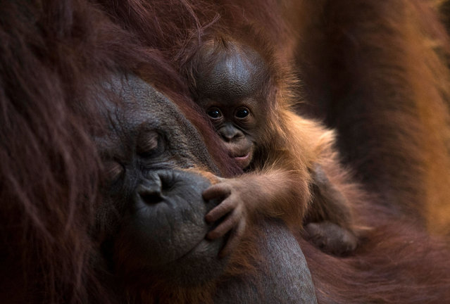 A Bornean orangutan called Suli holds its newborn baby at their enclosure at the Bioparc zoological park in Fuengirola on August 12, 2021. (Photo by Jorge Guerrero/AFP Photo)