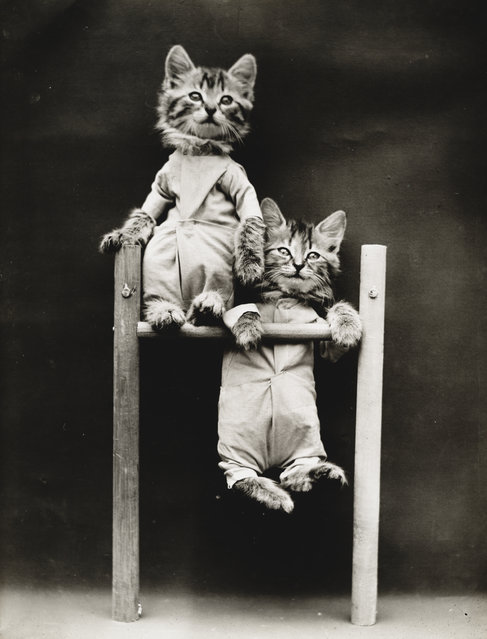 Photograph shows two kittens on a pull-up bar, 1914. (Photo by Harry Whittier Frees/Library of Congress)