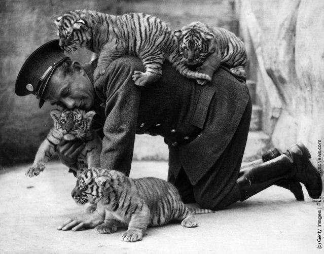 Eight week old tiger cubs belonging to Ranee, a tiger ar  Whipsnade zoo, find that their keeper is very useful as a climbing post, 1937