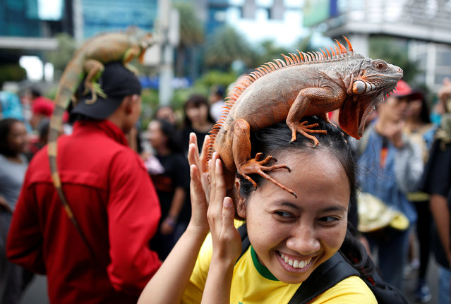 A woman holds an iguana perched on her head at a gathering of a reptile club during a car-free day in central Jakarta, Indonesia February 5, 2017. (Photo by Darren Whiteside/Reuters)