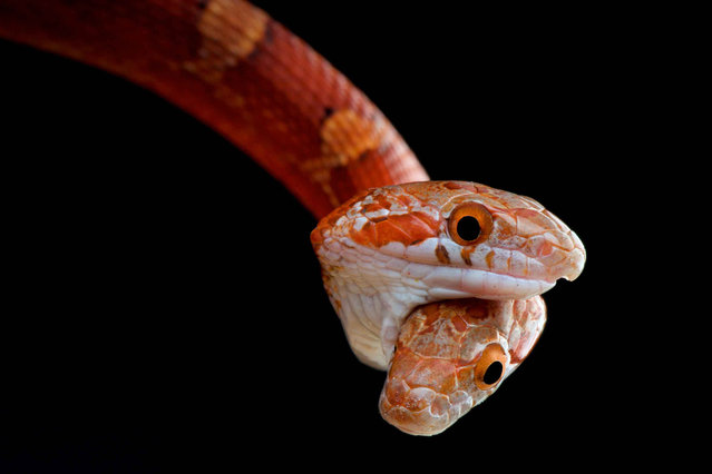 Two-headed snake (Pantherophis guttata). (Photo by Matthijs Kuijpers/The Guardian)