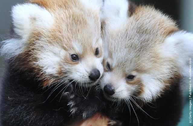 Twin Baby Red Pandas