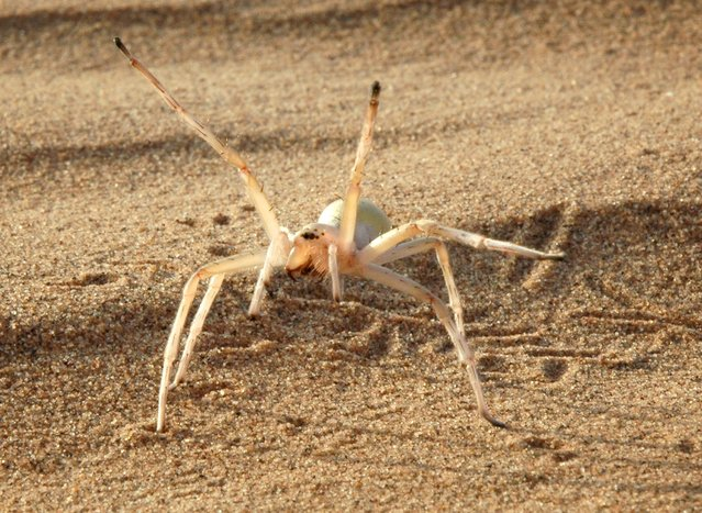 """The cartwheeling spider, Cebrennus rechenbergi, is seen in this undated handout picture obtained by Reuters May 21, 2015. C. rechenbergi is one of SUNY College of Environmental Science and Forestry's """"Top 10"""" species discovered in 2014. (Photo by Prof. Dr. Ingo  Rechenberg/Reuters/Technical University Berlin)"""