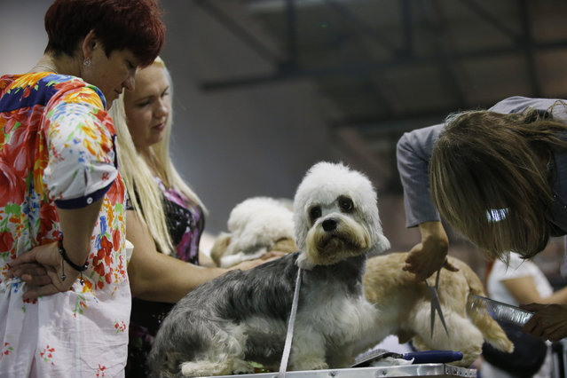 A Dandy Dinnmont Terrier is prepared at the make up area before competing at the World Dog Show in Rho, near Milan, Italy, Saturday, June 13, 2015.  (AP Photo/Luca Bruno)