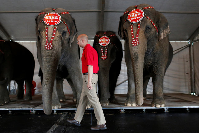 """Senior Elephant Handler Ryan Henning checks the performing elephants before Ringling Bros and Barnum & Bailey Circus' """"Circus Extreme"""" show at the Mohegan Sun Arena at Casey Plaza in Wilkes-Barre, Pennsylvania, U.S., April 29, 2016. (Photo by Andrew Kelly/Reuters)"""