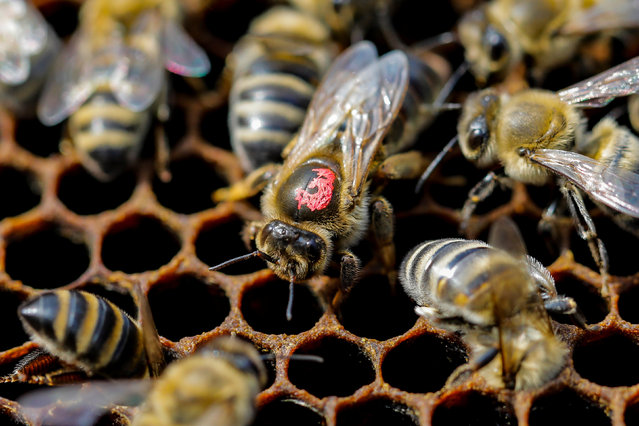 The queen bee is seen on the frame of a hive in a village of Ripanj near Belgrade, Serbia, April 9, 2019. Picture taken April 9, 2019. (Photo by Marko Djurica/Reuters)