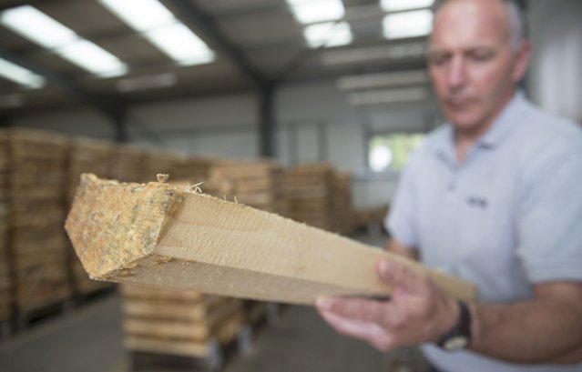 A worker checks the final grade of cricket bat blades at J S Wright & Sons cricket willow suppliers in Chelmsford, Britain July 6, 2015. (Photo by Neil Hall/Reuters)