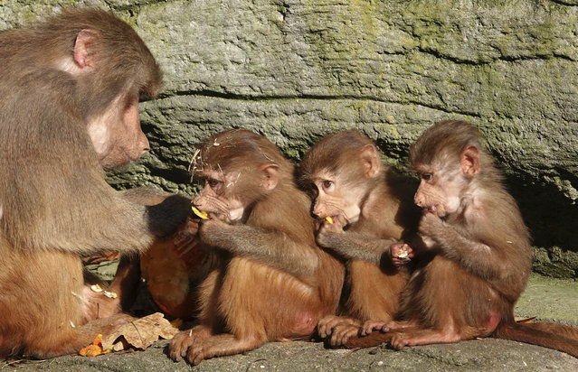 Three monkey cubs are feeded by an adult animal at the Hagenbeck animal park in Hamburg, northern Germany, Wednesday, October 30, 2019. (Photo by Magdalena Troendle/dpa via AP Photo)