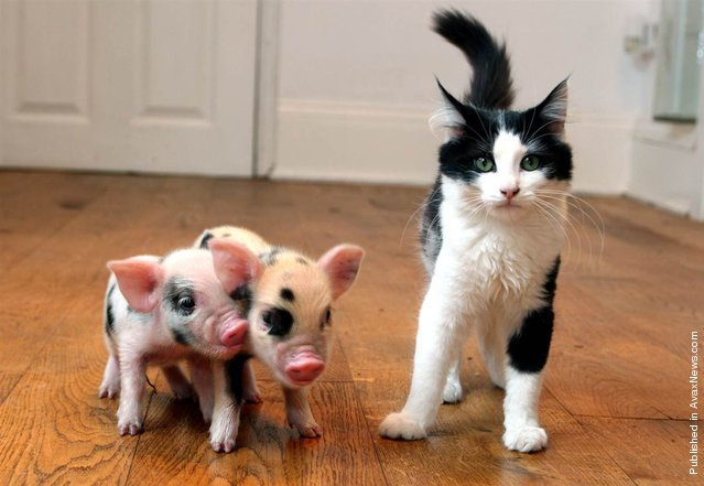 At birth, micro pigs are smaller than kittens, weighing about 9 oz