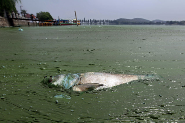 A dead fish floats in water filled with blue-green algae at the East Lake in Wuhan, Hubei province August 20, 2012. (Photo by Reuters/Stringer)