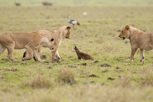 A brave mongoose growls at three lions on September 10, 2011 in Maasai Mara, Kenya. Four lions were left with their tails between their legs when a mongoose bravely took on the predators. (Photo by Jerome Guillaumot/Barcroft Media)